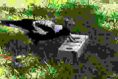 Sống thành bầy lớn giúp tăng cường trí thông minh của chim ác là