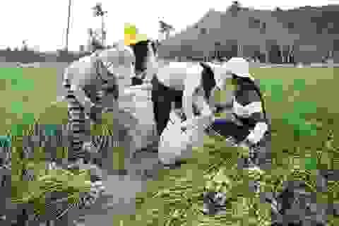 Nông dân Lý Sơn lãi hơn 10 triệu đồng/sào từ đặc sản tỏi