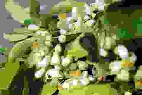Truy tìm nguồn gốc hoa bưởi bán đầy phố Hà thành
