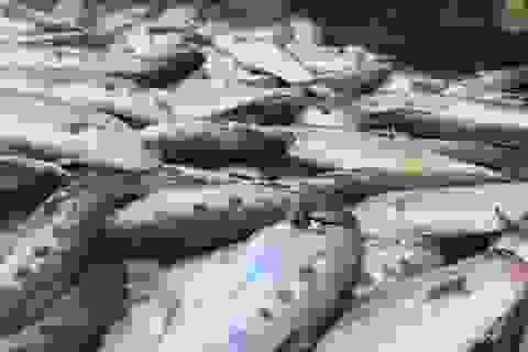 Quảng Ngãi: Ngư dân thu tiền tỷ ngay chuyến đầu nơi cửa biển