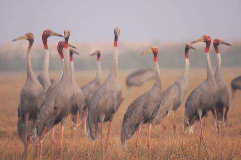 11 con sếu đầu đỏ về Vườn Quốc gia Tràm Chim