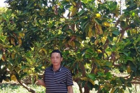Gia Lai: Một nông dân lãi 300 triệu đồng/năm từ...vườn tiêu chết