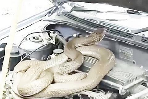 """Kinh hãi phát hiện rắn """"khủng"""" ẩn nấp dưới nắp capo"""