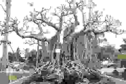 Đa cổ trăm tuổi mọc trên đá và cuộc ngã giá 10 cây vàng của đại gia Hà Nội