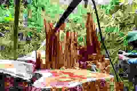 Giao địa phương quản lý rừng để hạn chế lâm tặc?