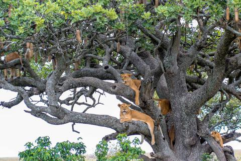 11 con sư tử chết ở Công viên Quốc gia Uganda do bị đầu độc