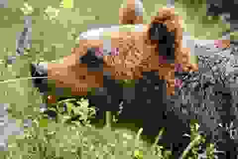 Gấu nâu hiếm có chết trong quá trình bắt giữ ở Ý?