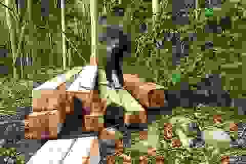 """Lâm tặc mở """"công trường"""" khai thác gỗ khủng"""