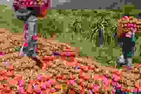 Dưa hấu, chuối tăng giá do Trung Quốc thu mua: Sẽ lại ăn quả...đắng