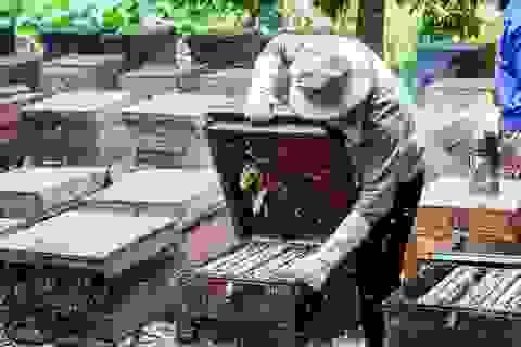 """Nghề nuôi ong du mục: """"Đánh cược"""" với những mùa hoa"""