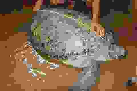 Ngư dân bắt được rùa biển nặng gần 200 kg