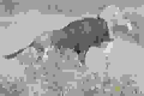 Khoảnh khắc linh dương đầu bò chiến đấu ngoan cường, thoát chết trước hàm sư tử