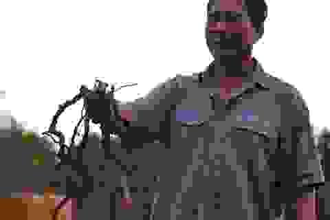 Đồng Nai: Tái diễn việc thương lái mua rễ hồ tiêu xuất đi Trung Quốc