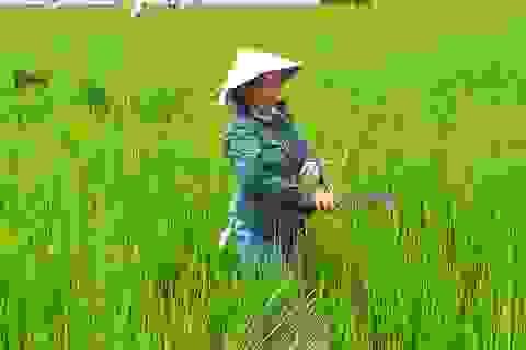"""Thanh Hoá: Người dân điêu đứng, có nguy cơ trắng tay vì """"lúa ma"""""""