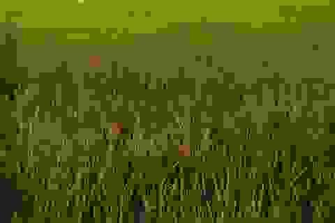 Phun thuốc cỏ cháy vào ruộng lúa để trả thù chuyện mất ví