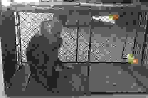 Người dân tự nguyện giao nộp khỉ quý hiếm để thả về tự nhiên