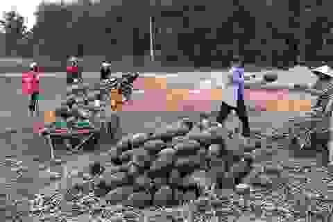 Người trồng dưa hấu đang quá phụ thuộc vào thị trường Trung Quốc