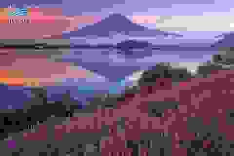 Ngắm hoa oải hương ngút ngàn dưới chân núi Phú Sĩ