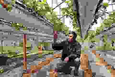 Treo dâu tây lơ lửng trên giàn, lãi 2 tỷ đồng mỗi năm