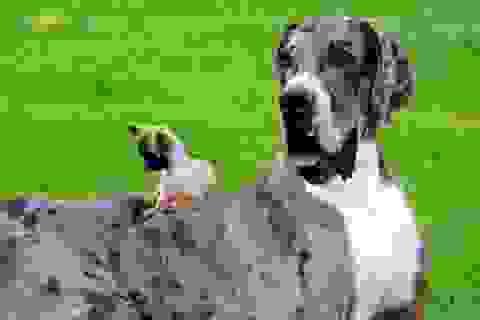 Chú chó cao lớn nhất hành tinh qua đời