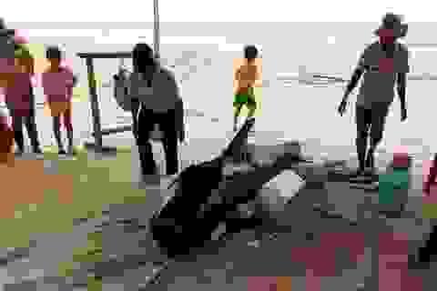 Cá voi nặng gần nửa tấn dạt vào bờ biển chờ chết