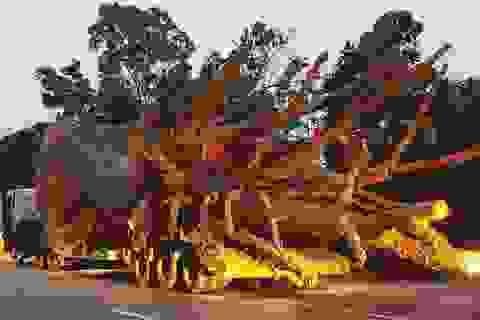 """Thu hồi phù hiệu của dàn xe chở cây """"quái thú"""""""