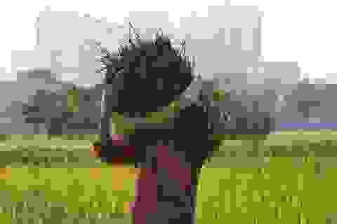 Gặt lúa dưới chân những tòa chung cư ở Hà Nội