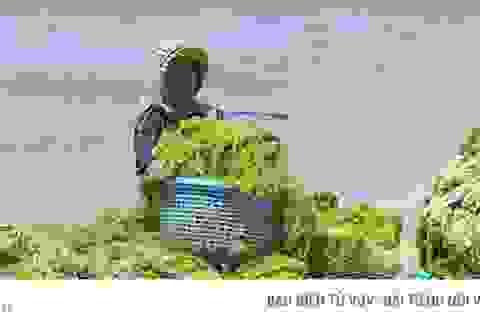 Đi vớt rong biển mỗi ngày người dân bỏ túi 300.000 đồng