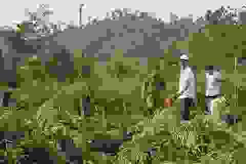 Phát hiện gần 1000 cây cần sa xanh tốt trồng trong rẫy