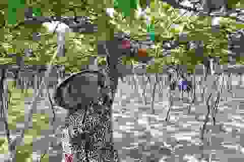 Ghé thăm vườn nho nức tiếng, hút khách ở Ninh Thuận