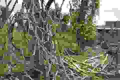 Vụ thu mua gốc, rễ hồ tiêu chết: Cơ quan điều tra vào cuộc