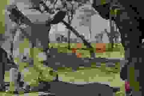 Thụ tinh trong ống nghiệm có thể cứu loài tê giác trắng khỏi sự tuyệt chủng