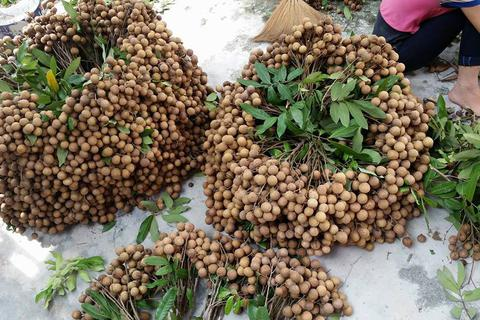 3.000 đồng/kg người trồng nhãn Hưng Yên chán chẳng buồn bẻ
