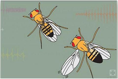 Bí ẩn đôi cánh biết hát của ruồi giấm