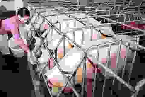 Ngăn chặn không để dịch tả lợn châu Phi vào Việt Nam