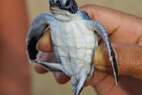 Đâu là thủ phạm khiến hơn 40% rùa biển non bị giết chết?