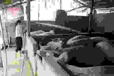 """""""Thủ phủ"""" nuôi lợn lớn nhất miền Bắc ngăn chặn dịch tả lợn Châu Phi"""
