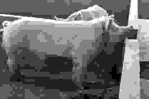 Lợn 'sát thủ' xổng chuồng, tấn công người tử vong