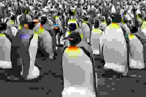 """Chim cánh cụt """"sốc lạnh"""" trong thời tiết âm 40 độ ở Canada"""