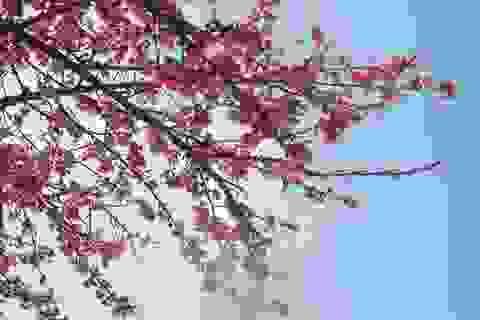 Lên Sa Pa ngắm hoa anh đào Nhật Bản khoe sắc hồng tuyệt đẹp