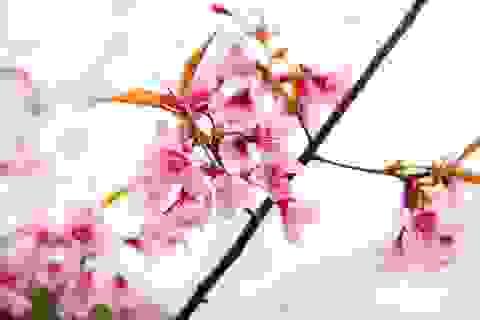 Mãn nhãn với hoa Mai anh đào khoe sắc trên Măng Đen