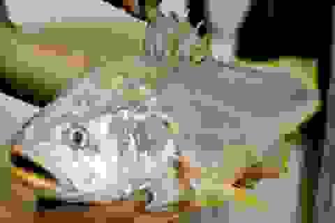 Ba lô 1,5 tỷ đồng mua con cá sủ vàng: Huyền thoại lộc trời