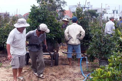Giá mai Tết tăng cao, người trồng thu lãi lớn