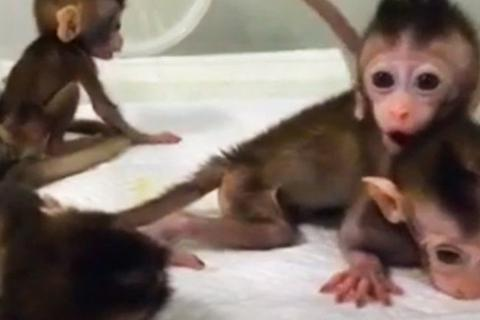 Trung Quốc lần đầu tiên nhân bản một loài linh trưởng đã bị biến đổi gene