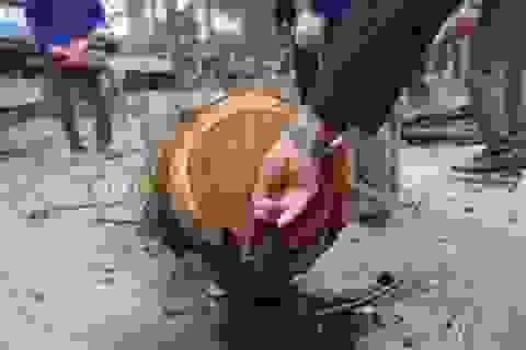"""Hà Nội: Chặt hạ cây sưa đỏ 100 năm tuổi bên cạnh """"cây sưa trăm tỷ"""""""