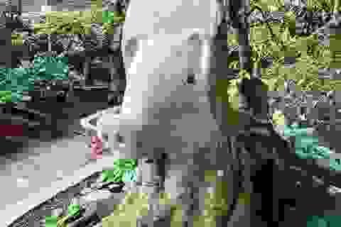 """""""Choáng"""" với cây khế """"đầu heo"""" giá nửa tỷ đồng ở Sài Gòn"""
