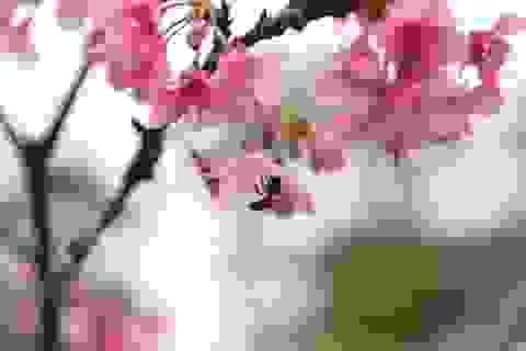 Tận mắt ngắm hoa anh đào Nhật Bản tuyệt đẹp ngay tại Hà Nội