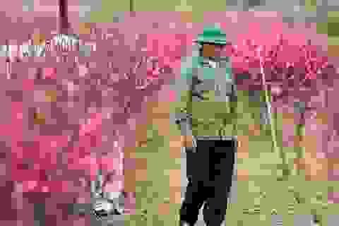 """Người trồng đào Nhật Tân lo """"mất Tết"""" do đào nở rộ"""