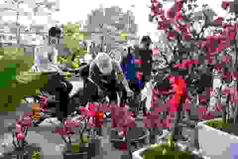 """Mai đỏ Trung Quốc để mấy tháng không tàn đổ bộ """"thủ phủ"""" đào Việt"""