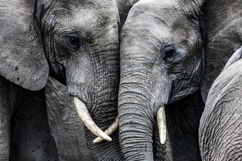 Các loài động vật lớn nhất Trái Đất đứng trước nguy cơ tuyệt chủng là do con người